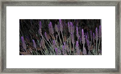 Lavender At Night Framed Print by Jean Booth