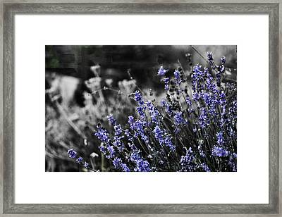 Lavender B And W Framed Print