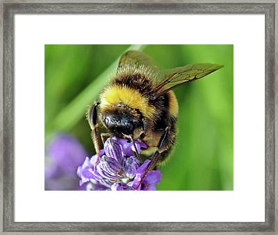 Lavender Bee Framed Print