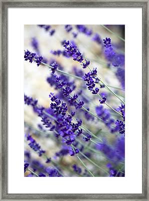 Lavender Blue Framed Print by Frank Tschakert
