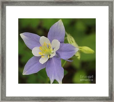 Lavender Blue Wild Columbine Framed Print