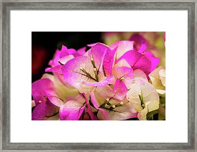 Lavender Bouganvilla Framed Print