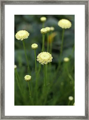 Lavender Cotton Framed Print by Heidi Poulin