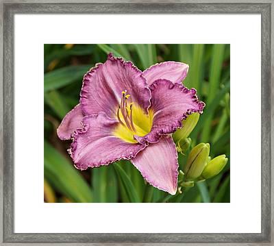 Lavender Daylily  Framed Print by Sandy Keeton