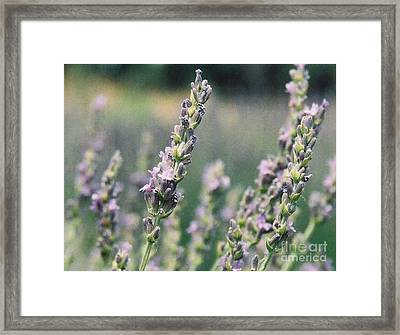 Framed Print featuring the painting Lavender by Eric  Schiabor