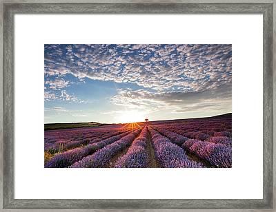 Lavender Framed Print by Evgeni Dinev