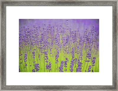 Framed Print featuring the photograph Lavender Fantasy by Jani Freimann