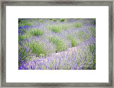 Lavender Field Farm Landscape Framed Print by Andrea Hazel Ihlefeld