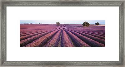 Lavender Field, Fragrant Flowers Framed Print