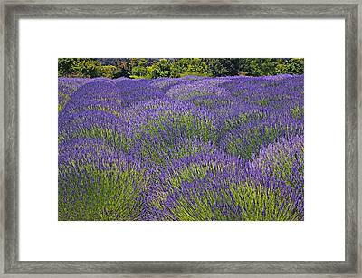 Lavender Field Framed Print by Garry Gay