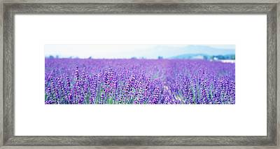 Lavender Field Japan Framed Print by Panoramic Images