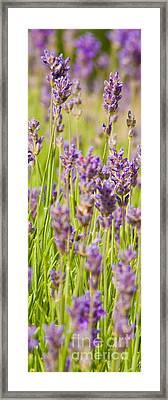 Lavender Field Framed Print by John Basford