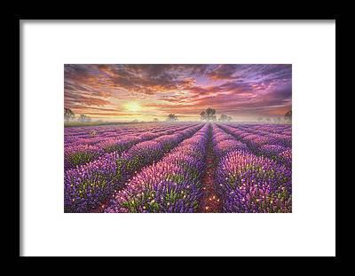 Lavender Mist Framed Prints