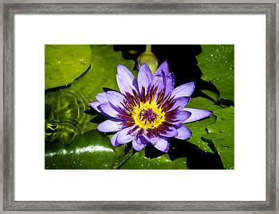Lavender Fireworks Framed Print