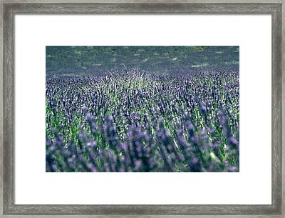 Lavender Framed Print by Flavia Westerwelle