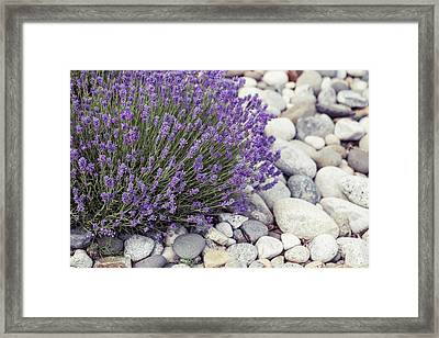 Lavender Flower In The Garden,park,backyard,meadow Blossom In Th Framed Print
