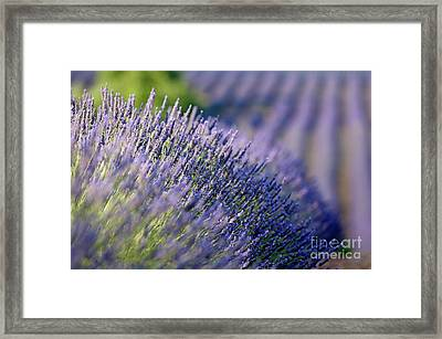 Lavender Flowers In A Field Framed Print by Sami Sarkis