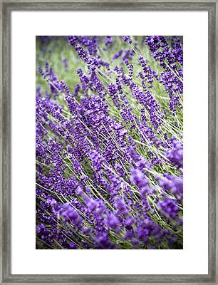 Lavender Framed Print by Frank Tschakert