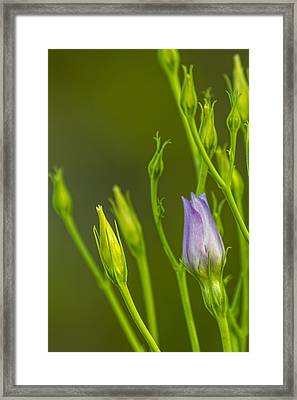 Lavender Lady's Framed Print by Marvin Spates