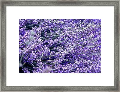 Lavender Framed Print by Lali Kacharava