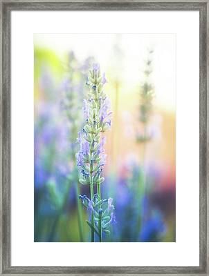 Lavender Light Framed Print