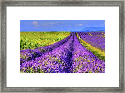 Lavender Love Framed Print