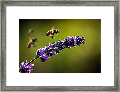 Lavender Framed Print by Martin Newman