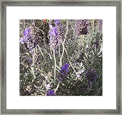 Lavender Moment Framed Print