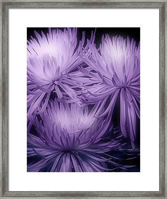 Lavender Mums Framed Print
