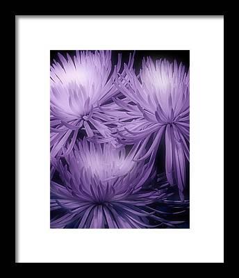 Chrysanthemum Framed Prints