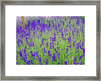 Lavender Framed Print by Rainer Kersten