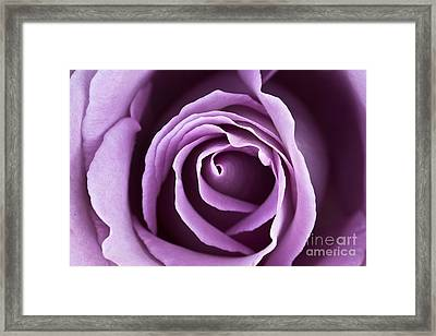 Lavender Rose Framed Print