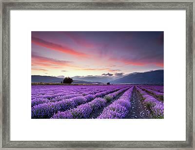 Lavender Season Framed Print
