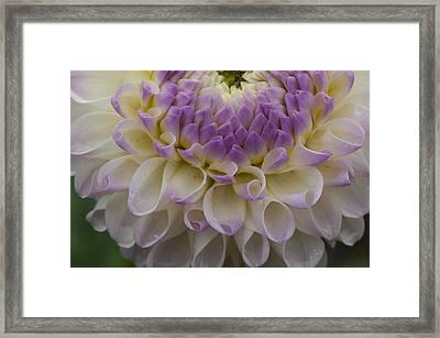 Lavender Shades Framed Print