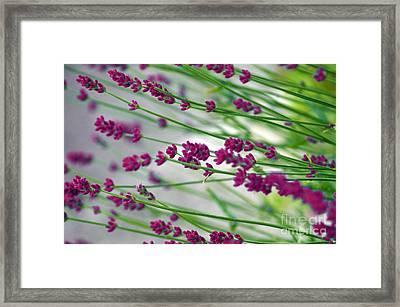 Lavender Framed Print by Susanne Van Hulst
