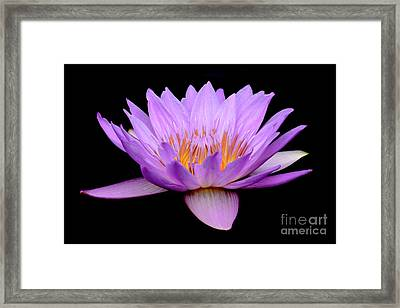 Lavender Tropical Day Lily Framed Print