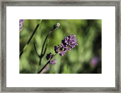 Lavender True Framed Print by Connie Handscomb