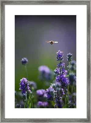 Lavender User Framed Print