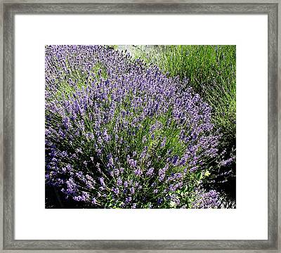 Lavender  Framed Print by Valerie Josi