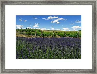 Lavender Vineyard Framed Print by Mark Kiver
