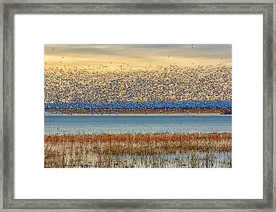 Layers - Snow Geese Framed Print by Nikolyn McDonald