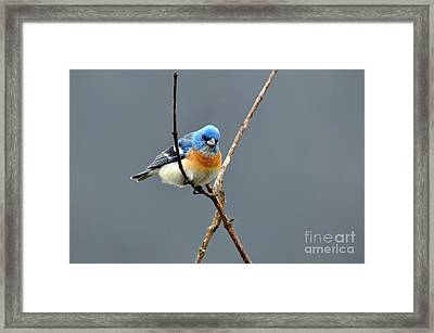 Lazuli Bunting II Framed Print by Laura Mountainspring