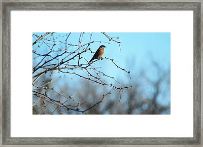 Lazuli Bunting Looks Out Framed Print