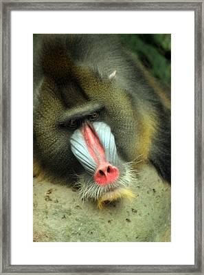 Lazy Baboon Framed Print by ShadowWalker RavenEyes Dibler