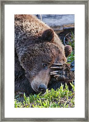 Framed Print featuring the photograph Lazy Bear by Wesley Aston