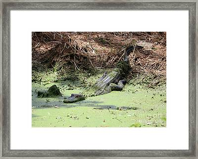 Lazy Day In The Swamp Framed Print