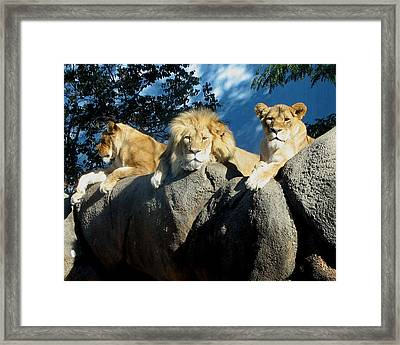 Lazy Day Lions Framed Print