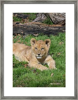 Lazy Little Leo Framed Print