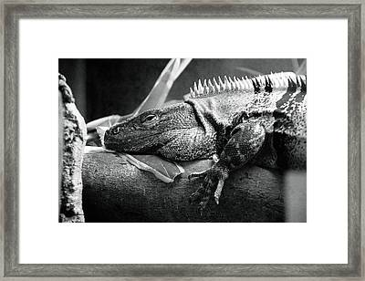 Lazy Lizard Framed Print