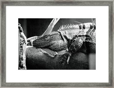 Lazy Lizard Framed Print